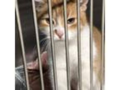 Adopt Ruger a Orange or Red Domestic Shorthair cat in Northbrook, IL (25542461)