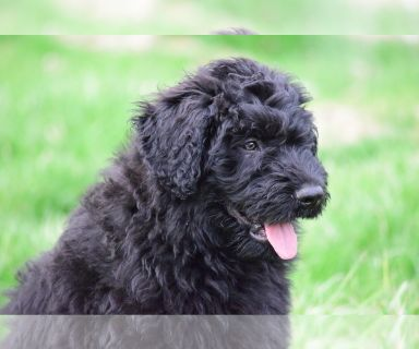 Bouvier Des Flandres PUPPY FOR SALE ADN-126021 - Male Bouvier Des Flandres Puppies Available
