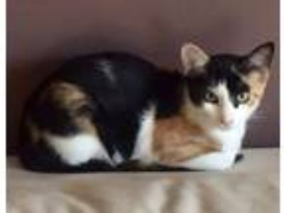Adopt Pansy a Calico