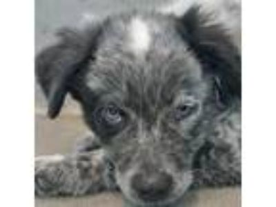 Adopt Whimsy a Border Collie / Australian Shepherd / Mixed dog in Rancho Santa