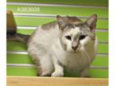 Adopt a White (Mostly) Siamese / Mixed (short coat) cat in St.
