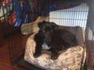 Adopt Ollie B. Courtesy Posting a Labrador Retriever