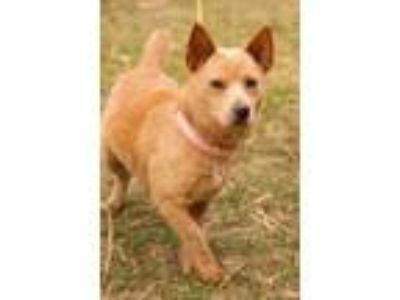 Adopt Lanna a Cattle Dog, Corgi
