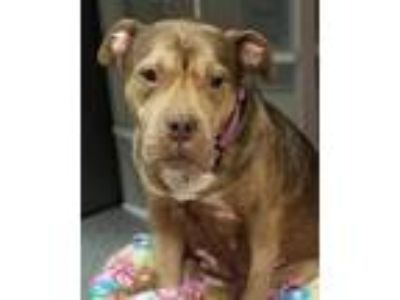 Adopt Mahogany a American Pit Bull Terrier / Mixed dog in Pittsburgh