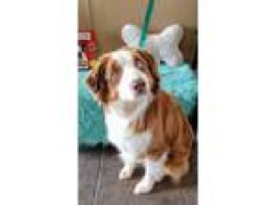 Adopt Clover a Red/Golden/Orange/Chestnut Australian Shepherd / Mixed dog in