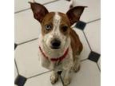 Adopt Freddie a Brown/Chocolate - with White Catahoula Leopard Dog / Terrier