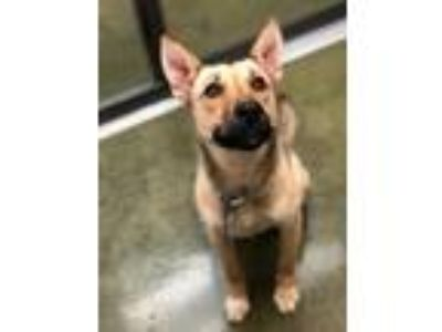 Adopt Daphne a German Shepherd Dog, Mixed Breed