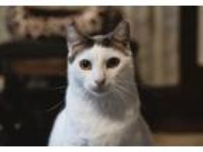 Adopt Alvin a Domestic Short Hair