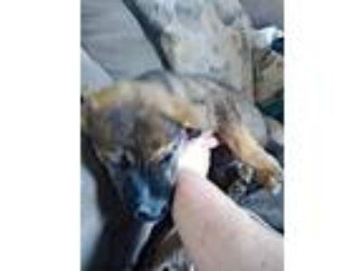 Adopt Morgan a Dutch Shepherd