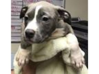 Adopt Dora a Pit Bull Terrier / Mixed dog in Silverdale, WA (25372676)
