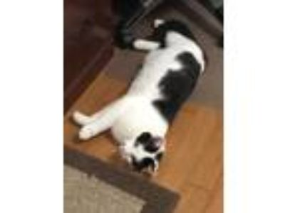 Adopt Jessie a Black & White or Tuxedo Domestic Shorthair cat in Jamestown
