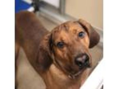 Adopt Scrappy a Redbone Coonhound dog in Chatham, VA (25531988)