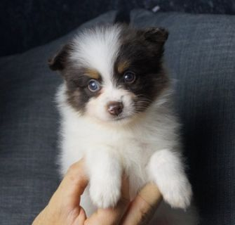 Pomeranian PUPPY FOR SALE ADN-89888 - Adorable AKC Pomeranian Puppies Ready to go