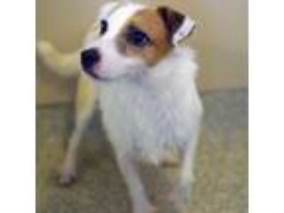 Adopt Finch a White Jack Russell Terrier / Mixed dog in Washington