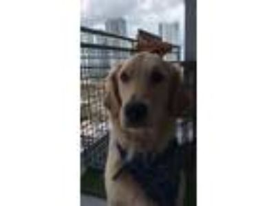Adopt Charlie a Tan/Yellow/Fawn Golden Retriever dog in Coral Springs