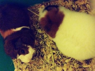 Guinea pigs need gone asap
