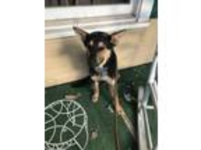 Adopt 42105138 a Black German Shepherd Dog / Mixed dog in Fort Worth