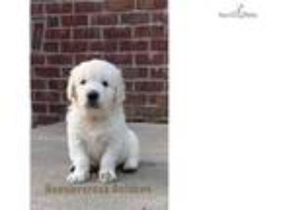 AKC English Cream with Champion Lines
