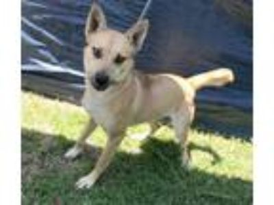Adopt Cleopatra a Shepherd, Black Mouth Cur