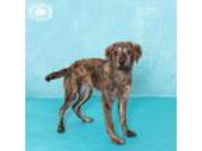 Adopt Sweet Pea a Brindle Plott Hound / Retriever (Unknown Type) dog in