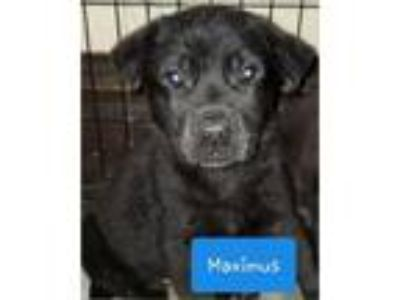 Adopt Maximus a Black Labrador Retriever / German Shepherd Dog / Mixed dog in