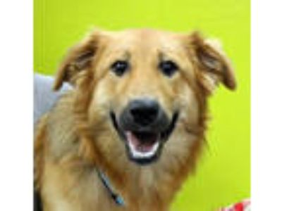 Adopt Gorgeous Goldie a Golden Retriever, Collie