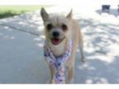 Adopt AMORE a Wirehaired Terrier, Terrier