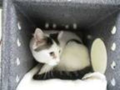 Adopt Max a White Domestic Shorthair / Domestic Shorthair / Mixed cat in Irving
