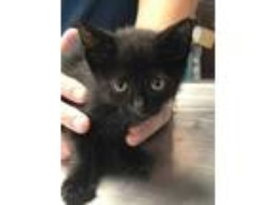Adopt Oodles a All Black Domestic Shorthair / Domestic Shorthair / Mixed cat in