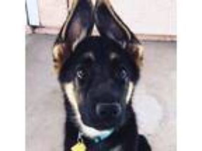 Adopt Nova a Black - with Tan, Yellow or Fawn German Shepherd Dog / Mixed dog in