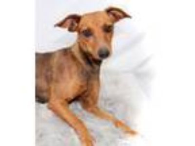 Adopt Triscuit -Foster Needed 6/5 a Italian Greyhound