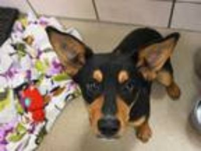 Adopt BUSTER a Black - with Tan, Yellow or Fawn German Shepherd Dog / Mixed dog