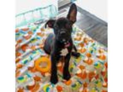 Adopt Ryder a American Staffordshire Terrier, German Shepherd Dog
