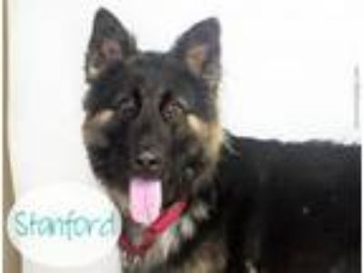 Adopt STANFORD a German Shepherd Dog