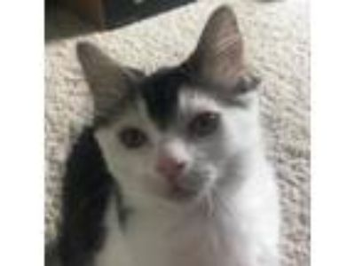 Adopt Anya a Calico or Dilute Calico Domestic Longhair cat in Chaska