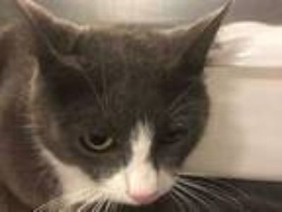 Adopt MOLLY a Gray or Blue (Mostly) Domestic Shorthair / Mixed (short coat) cat