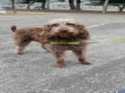 Adopt PENNY a Brown/Chocolate - with White Poodle (Standard) / Labrador