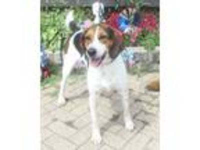 Adopt Louisa a Tricolor (Tan/Brown & Black & White) Beagle / Mixed dog in West