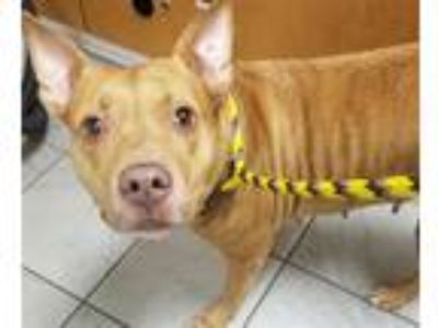 Adopt Kanga a Pit Bull Terrier / Mixed dog in Madison, NJ (25733878)