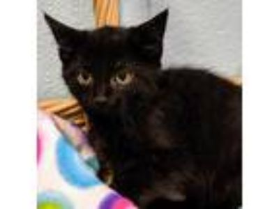 Adopt Kasie a All Black Domestic Shorthair / Domestic Shorthair / Mixed cat in