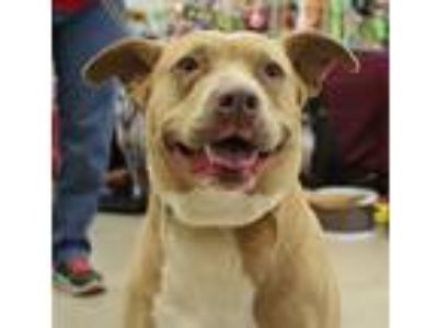 Adopt Sweetie a Brindle - with White American Pit Bull Terrier / Mixed dog in