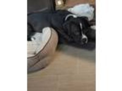 Adopt Boltz a Black - with White American Pit Bull Terrier / Boxer / Mixed dog