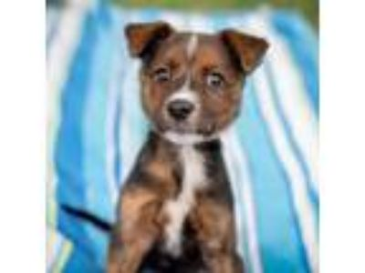 Adopt Piper a Terrier, Mixed Breed