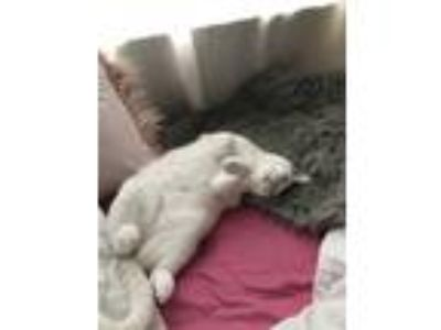 Adopt Sofie a White (Mostly) American Shorthair / Mixed cat in Columbia