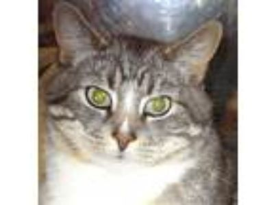 Adopt Petey 2 a Gray, Blue or Silver Tabby Domestic Shorthair / Mixed (short