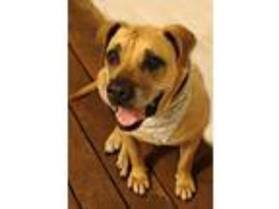 Adopt Jasmine a Tan/Yellow/Fawn - with Black Bullmastiff / Mixed dog in Laurel