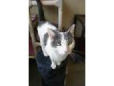 Adopt Ptolemy a Gray or Blue Domestic Shorthair / Domestic Shorthair / Mixed cat