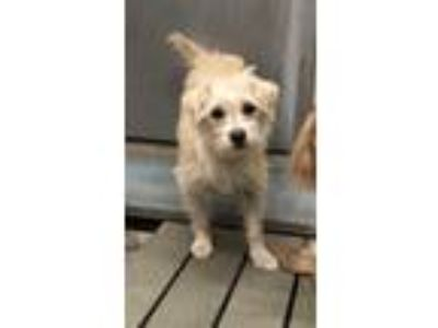 Adopt Kindle a Tan/Yellow/Fawn Terrier (Unknown Type, Small) / Mixed dog in