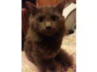 Adopt Smokey a Gray or Blue Domestic Longhair cat in Charleston, WV (25545604)