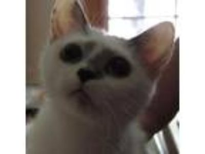 Adopt Smudge a White Domestic Shorthair cat in Rochester, MN (25922443)